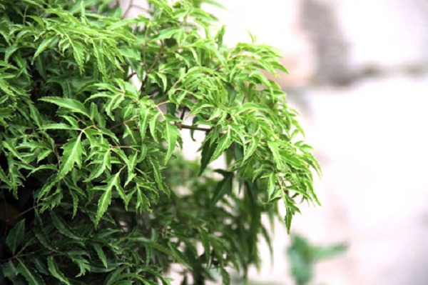 Lá cây đinh lăng nằm trong vị thuốc chữa apxe vú.