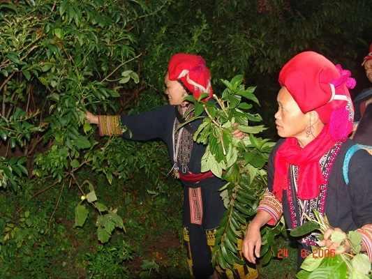 Dao'spa mama được chính người dân Dao đỏ thu hái tại Sapa