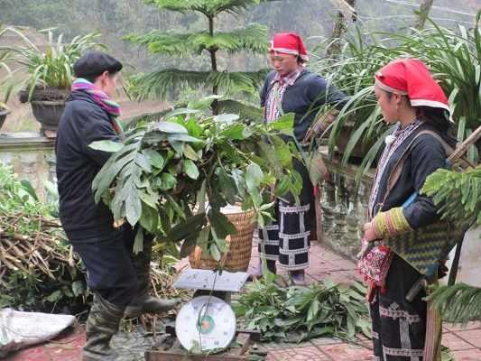 Dược liệu thu mua là dược liệu tươi, chỉ thu hái phần lá và ngọn cây, bảo vệ gốc.