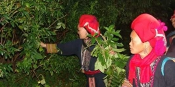 Bài thuốc tắm bí truyền của người Dao đỏ - Sapa